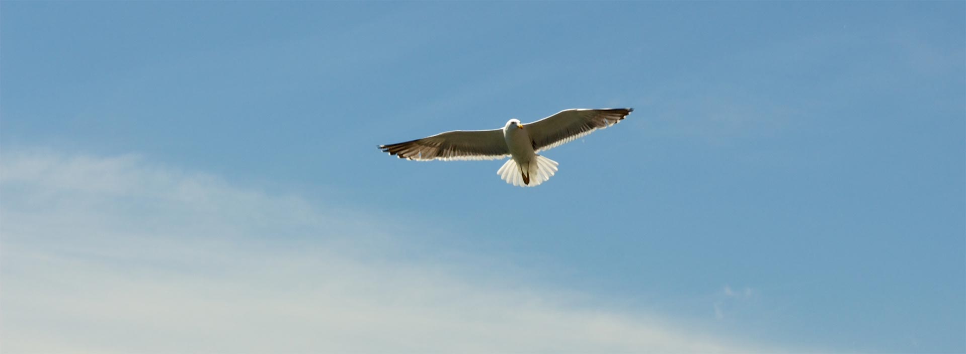 Eagle soaring in blue sky with clouds